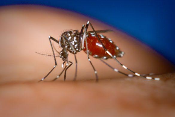 Um mosquito Aedes albopictus fêmea (transmissor da chykungunya) se alimentando do sangue de uma pessoa