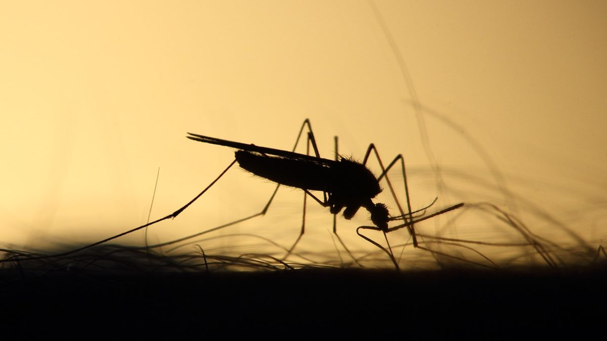 Aedes aegypti: o mosquito transmissor da dengue