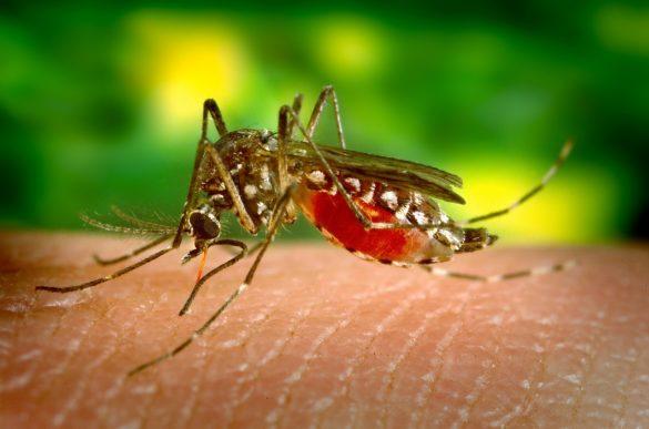 Quais são os sintomas da dengue: mosquito Aedes aegypti fêmea picando a pele de uma pessoa
